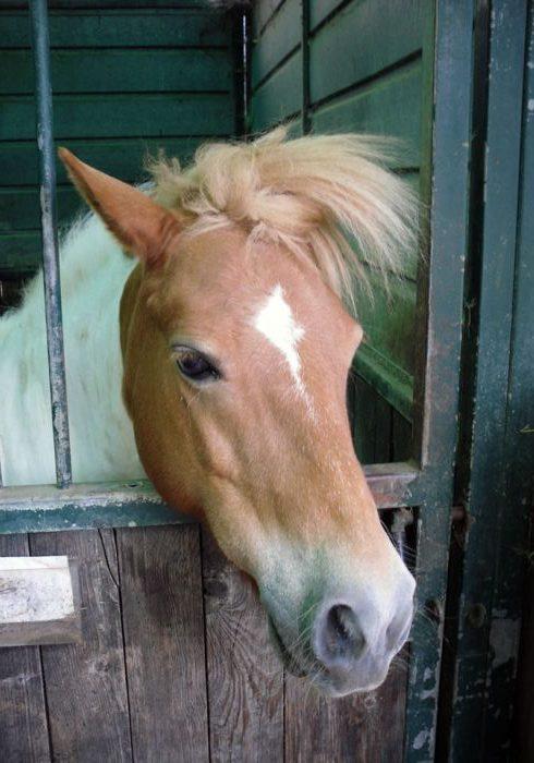 pony per scuderie didattiche